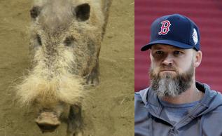bearded_pig