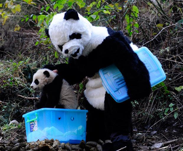 panda_1778809i